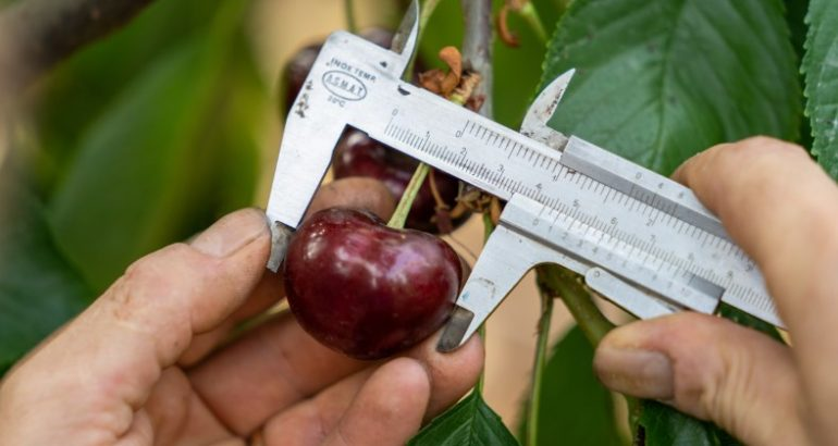 Trešnja za rekord: evo koliko grama ima najteža trešnja na svijetu
